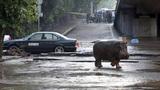 Thất kinh cảnh sư tử, hà mã dạo phố sau mưa giông