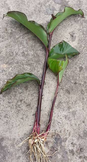 Cây dong riềng đỏ - cây thuốc mới trị bệnh mạch vành
