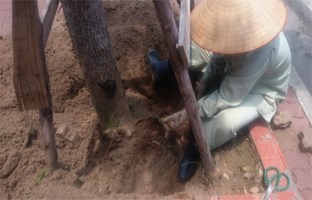 Hà Nội: Công nhân đào đất gỡ lưới cước bọc rễ cây xanh