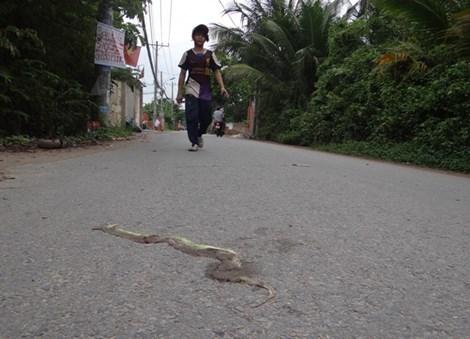 Rắn lục đuôi đỏ xuất hiện nhiều ven sông Sài Gòn
