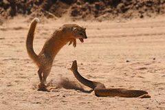 """Xem cầy mangut """"trị"""" rắn cực độc châu Phi"""