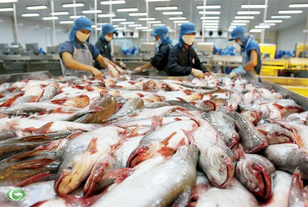 Tỉnh kêu khó cho doanh nghiệp cá tra