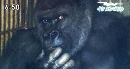 Phụ nữ Nhật phát cuồng vì khỉ đột 'đẹp trai'