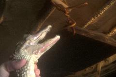 Video giết cá sấu ghê rợn lột da cho những chiếc túi tiền tỷ