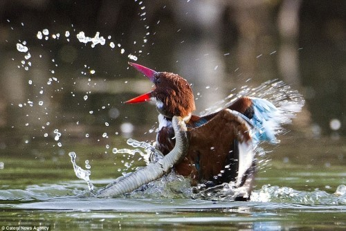 Cuộc tử chiến giữa chim bói cá và rắn nước