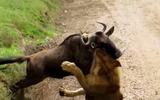 Sư tử tung người hạ linh dương chỉ bằng 1 cú đớp