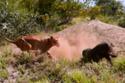 Lợn rừng đào thoát ngoạn mục trước bầy sư tử