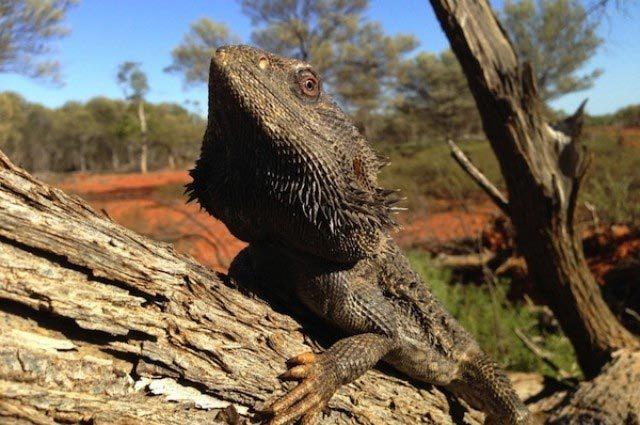 'Rồng Úc' biến đổi giới tính từ trong trứng khi trời nóng