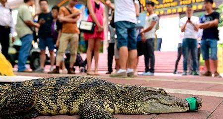 Độc chiêu tuyển dụng, bắt gái xinh hôn cá sấu