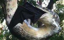 Trăn khổng lồ treo mình lên cây nuốt chửng dơi