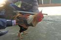 Sự thật gây choáng về gà chín cựa nổi tiếng