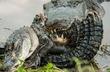 Rắn bị cá sấu xé xác sau khi nuốt trọn con mồi