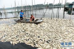 Vạn tấn cá chết trắng mặt hồ