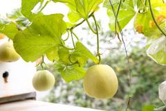 """Vườn rau sạch """"3 năm tuổi"""" lúc lỉu khế, dưa, ổi... trồng chậu"""