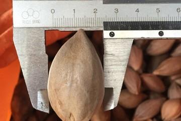 Rộ tin thương lái Trung Quốc lùng mua hạt trám đen 2 cm