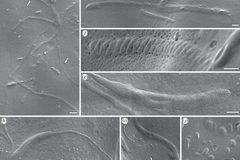 Phát hiện tinh trùng hóa thạch 50 triệu năm tuổi