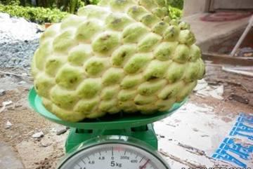 Trồng na 1kg/quả tại gia: 3 năm mới được ăn