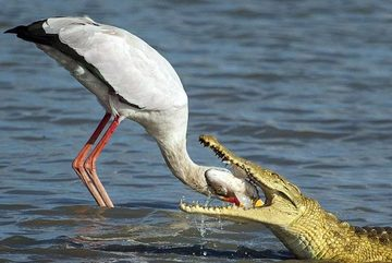 """Cá sấu chớp cơ hội cướp mồi của """"bạn"""" cò"""