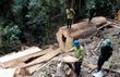 Hàng loạt cây sa mu đường kính gần 3m bị đốn trộm
