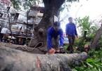 Hà Nội giáng chức cán bộ vụ cây xanh