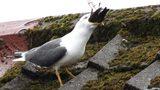 Kinh hoàng cảnh chim hải âu ăn thịt đồng loại