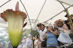 """Dân Nhật đổ xô đi ngắm bông hoa """"xác chết"""""""