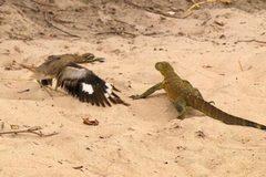 """Chim nổi giận, tấn công thằn lằn """"khủng"""""""