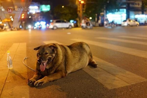 Chú chó béo nhất Hà Nội hàng ngày đi bộ với chủ để... giảm cân