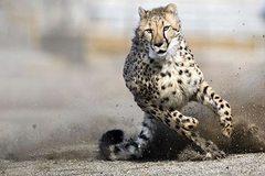 Báo Cheetah suýt chết vì lạc vào đất của khỉ đầu chó