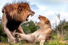Sư tử cái suýt bỏ mạng vì bị đồng loại cướp mồi