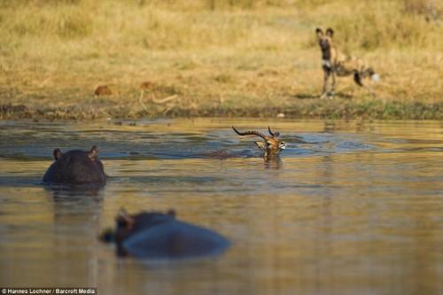 Hà mã đói truy sát linh dương chạy trốn chó hoang