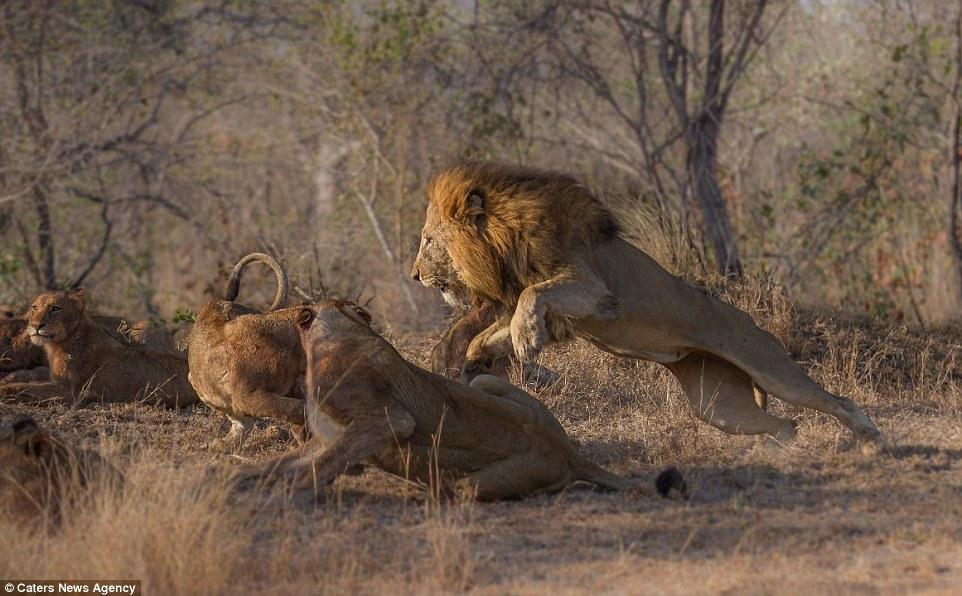 Sư tử cùng đàn đánh nhau quyết liệt vì miếng ăn