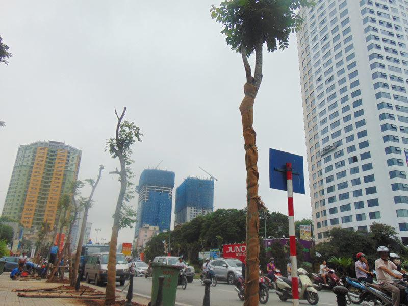 Hà Nội thay hàng loạt cây mỡ giữa đêm