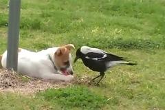 Tình bạn kỳ lạ giữa chó và chim