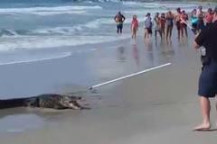 Cá sấu hơn 2m 'dọa' du khách chạy tán loạn