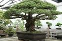 Cây bonsai 390 tuổi sống sót thần kỳ sau vụ ném bom nguyên tử ở Nhật