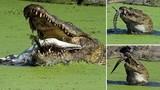 Kinh hoàng cảnh cá sấu khổng lồ ăn thịt đồng loại