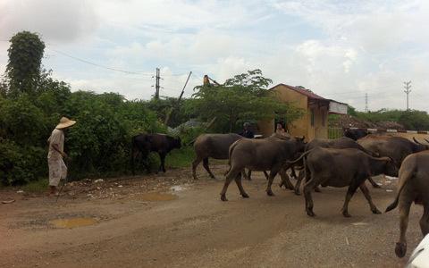 trâu bò, tung tăng, dạo phố, Hà Nội, Hoàng Mai, bất an, mất an toàn