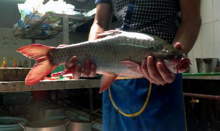 cá thần thanh hóa bị xẻ thịt ở hà nội